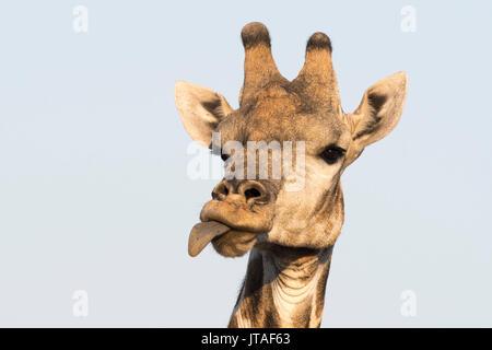Portrait of a southern giraffe (Giraffa camelopardalis), Kalahari, Botswana, Africa - Stock Image