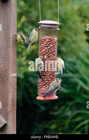 Cyanistes caeruleus, juvenile Blue Tits feeding from peanuts in a hanging bird feeder, Wales, UK. - Stock Image