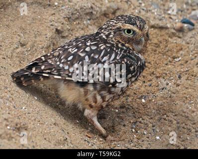 Burrowing Owl (athene cunicularia) - Stock Image