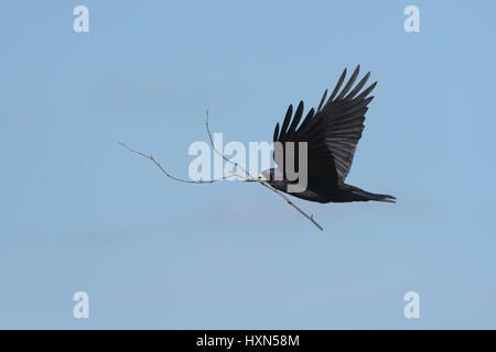 Rook (Corvus frugilegus) adult in flight carrying nest material. Gloucestershire. March. - Stock Image
