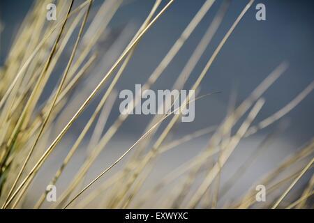 Marram grass, Sylt, Schleswig-Holstein, Germany, Europe - Stock Image