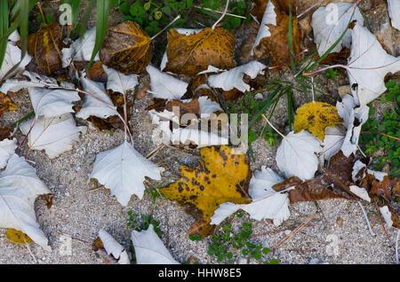 Leaves of White poplar, Populus alba, on forest ground, Spain. - Stock Image