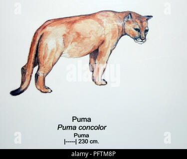 A poster with a stylised Puma (Cougar) Patagonia - Stock Image