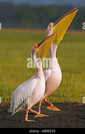 White Pelican Pelecanus onocrotalus Pair in display ritual Lake Nakuru Park Kenya - Stock Image