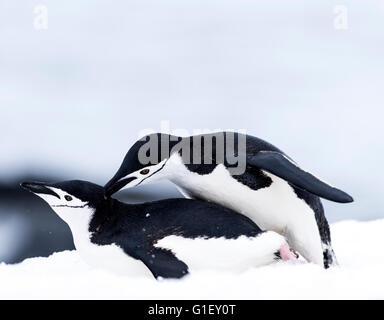 Chinstrap penguins (Pygoscelis antarctica) mating on snow Half Moon island Antarctic Peninsula Antarctica - Stock Image