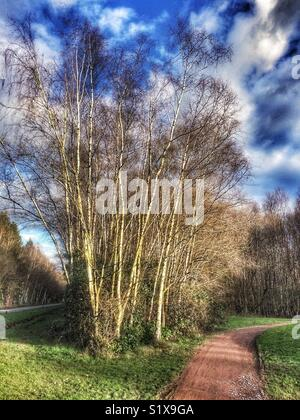 Silver birch trees on Paultons Park Golf Course, Owen, Hampshire, England, UK - Stock Image