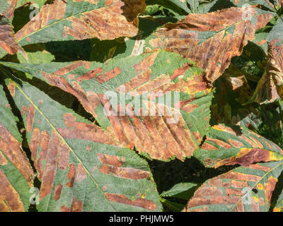 Autumn leaves of a Horse Chestnut [Aesculus hippocastanum} tree in sunshine. - Stock Image
