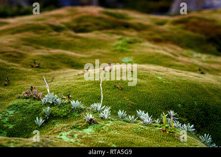 Close up of tasmanian cushion plant in Cradle Mountain–Lake St Clair National Park - Stock Image