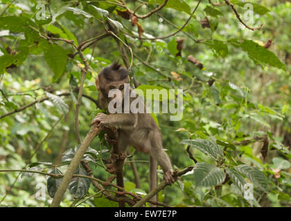 long tailed macaque Bali Indonesia - Stock Image