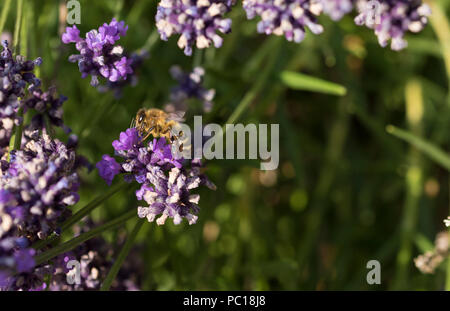 A honey bee (Apis mellifera) feeding on lavender (Lavandula) on a summer afternoon, in a Norfolk garden. - Stock Image