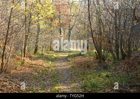 Autumn sunlight brings mellow colours on a track through a wood conveying a peacefull,tranquil feeling to assist general wellbeing.Somerset.UK - Stock Image