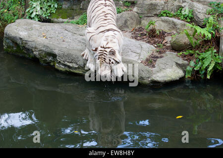 White Tiger at Singapore Zoo checking out the water life - Stock Image