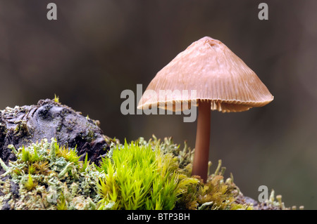Mycena galericulata or common bonnet - Stock Image