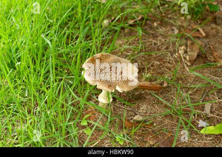 Brown mushroom in green grass in summer horizontal - Stock Image