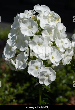 Garden Phlox (Phlox paniculata), flowers of summer - Stock Image