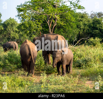 Family of elephant in green surroundings with baby facing image, and others walking away.  Taken in Sri Lanka morning - Stock Image