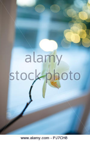 Christmas flowers and bokeh. Romantic time of the year. - Stock Image