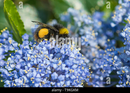 Worker Bombus pratorum (Early Bumblebee) collecting pollen from a Californian lilac (Ceanothus) in Spring (May) in West Sussex, UK. - Stock Image