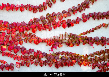 Wall with red virgin vine in autumn - Stock Image