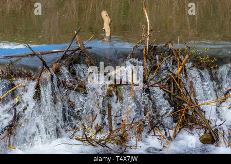 Spring runoff of water overflows an American Beaver dam (Castor canadensis), Castle Rock Colorado US. - Stock Image