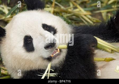 Giant panda feeding on bamboo stem Sichuan Province, China. - Stock Image