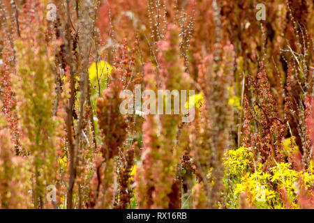 An abstract shot of a field of Dock plants (rumex) with Common Ragwort (senecio jacobea). - Stock Image