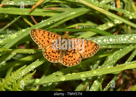 Small Pearl-bordered Fritillary,'Boloria selene',perched on grass after a rain shower in the Ubley Warren reserve on the Mendips in Somerset, UK - Stock Image