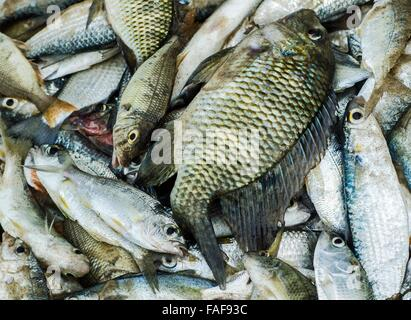 The day's catch for a small scale artisanal fisherman in the Turtle Islands, Sierra Leone. - Stock Image
