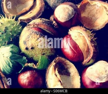 Autumn Horse Chestnuts Opening - Stock Image
