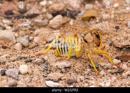 Cricket from arid inland area of Australia - Stock Image