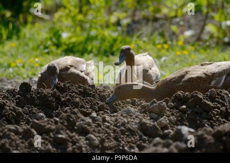Khaki Campbell ducks foraging for slugs in a vegetable bad, Wales, UK - Stock Image