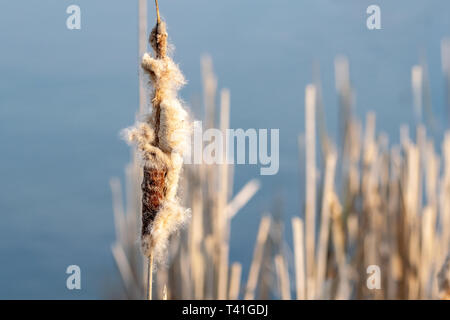 Spring time bullrushes (Typha latifolia) at sunset - Stock Image