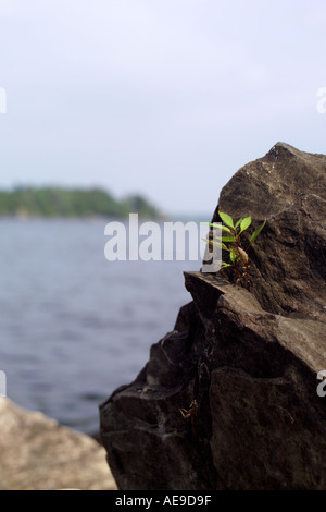 Sapling growing out of rock on Lake Champlain Vermont - Stock Image