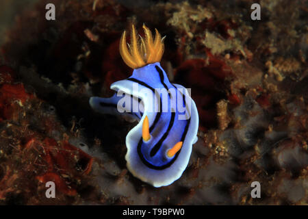 Chromodoris Nudibranch, Unidentified Species. Anilao, Philippines - Stock Image
