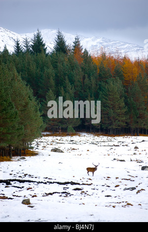 image of red deer stag in snow covered landscape - Stock Image