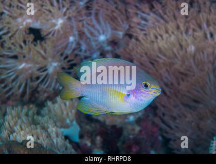Close up image of Ambon Damselfish (Pomacentrus amboinensis) with coral reef background. Puerto Galera, Philippines. - Stock Image
