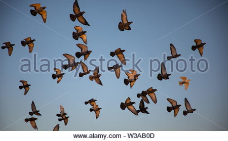 Flock of pigeons flying with blue sky in background - Stock Image