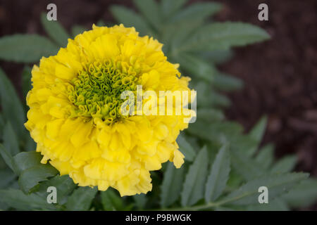 Close up of yellow marigold flower in bloom - Stock Image