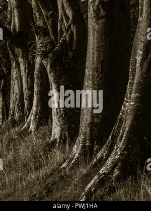Toned image of dark, spooky tree trunks - Stock Image