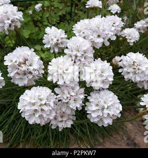 White sea thrift Armeria maritima 'Alba' flowers closeup growing in Leicestershire garden, UK. - Stock Image