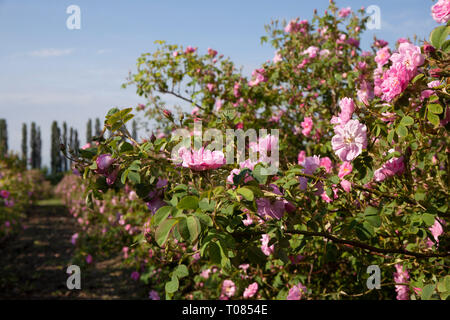 Rows with bloomed roses in an agricultural field before harvesting. - Stock Image