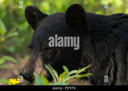 Close up on Face of Black Bear in Field - Stock Image