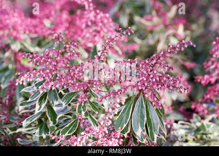 Pieris japonica 'Ralto' flowers. - Stock Image
