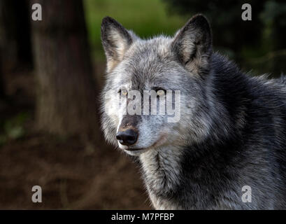 Female grey (gray) wolf(Canis lupus), aka thetimber wolf orwestern wolf. Acaninenative - Stock Image