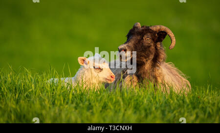 A lamb and a sheep in the grass - Stock Image
