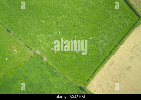 Aerial view of a herd of cows lying down in a field - Stock Image