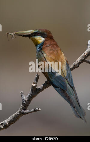 European Bee-eater with insect Praying Mantis - Stock Image