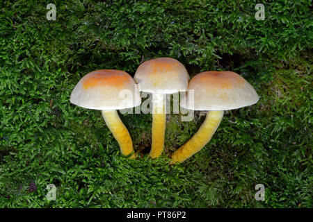 Hypholoma fasciculare (sulphur tuft) is a common woodland fungus. A saprophagic species that grows in large clumps on dead or rotting tree trunks - Stock Image