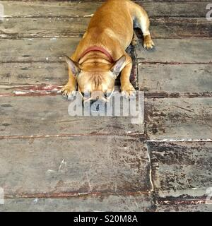 French bulldog on old wooden floorboards in Luang Prabang Laos - Stock Image