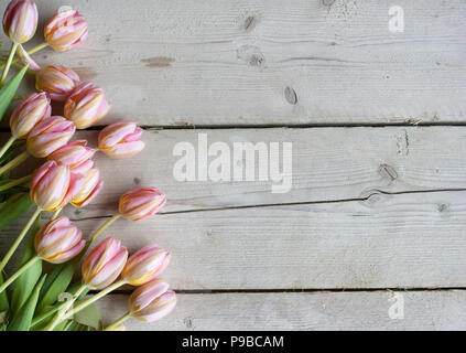 pink Dutch blooming tulips on weathered barn wood background - Stock Image